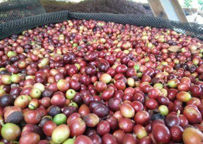 Zonnedroger voor koffiebonen in Peru