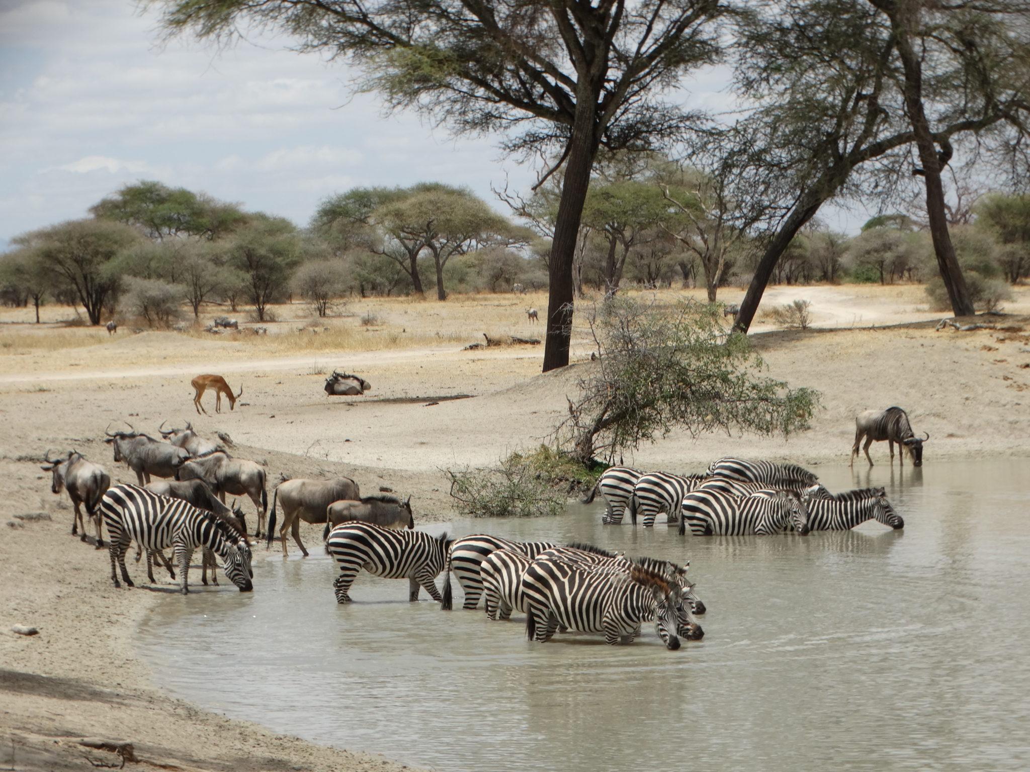 Zebra's en wildebeest in Tarangire