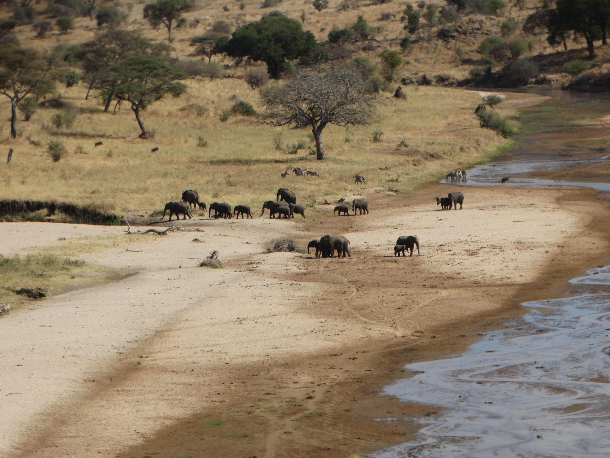 Enkele van de vele olifanten in Tarangire