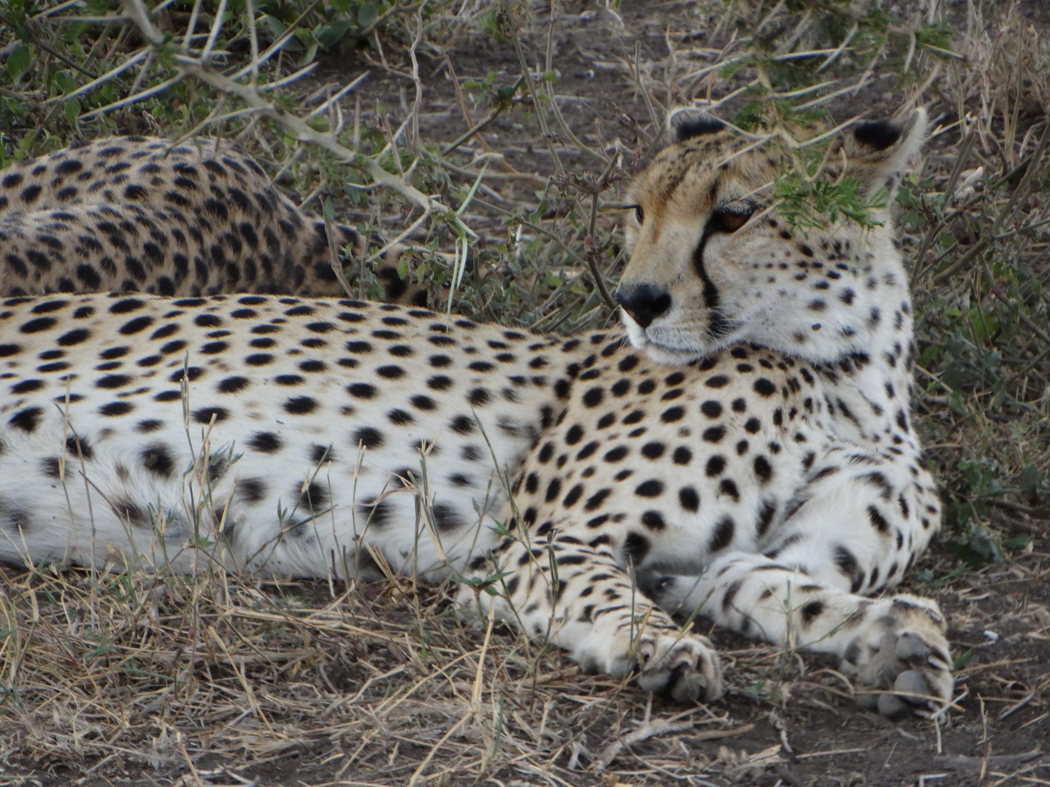 De prachtige cheeta (Serengeti)