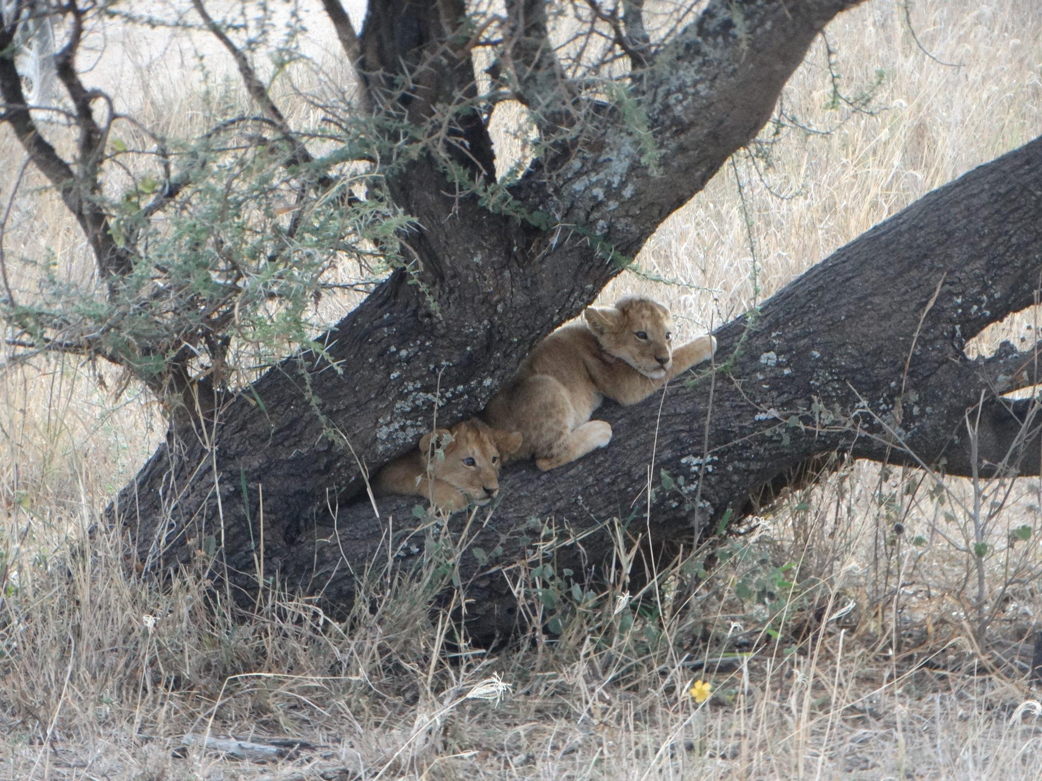 Onze allereerste leeuwenwelpjes!