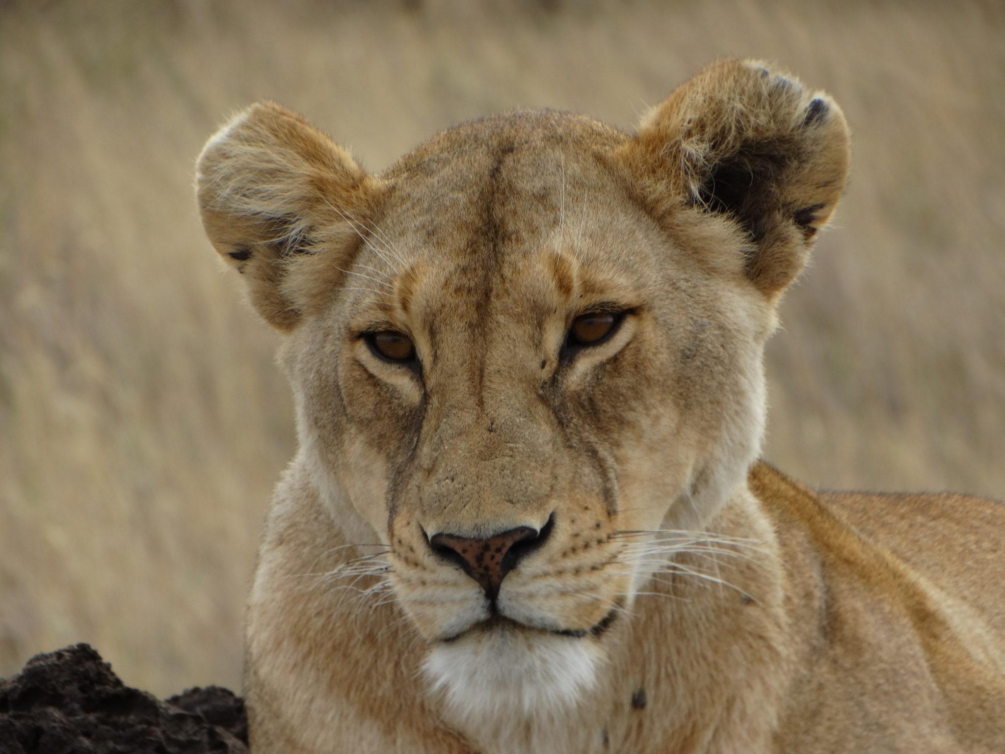 Leeuwin in de Serengeti