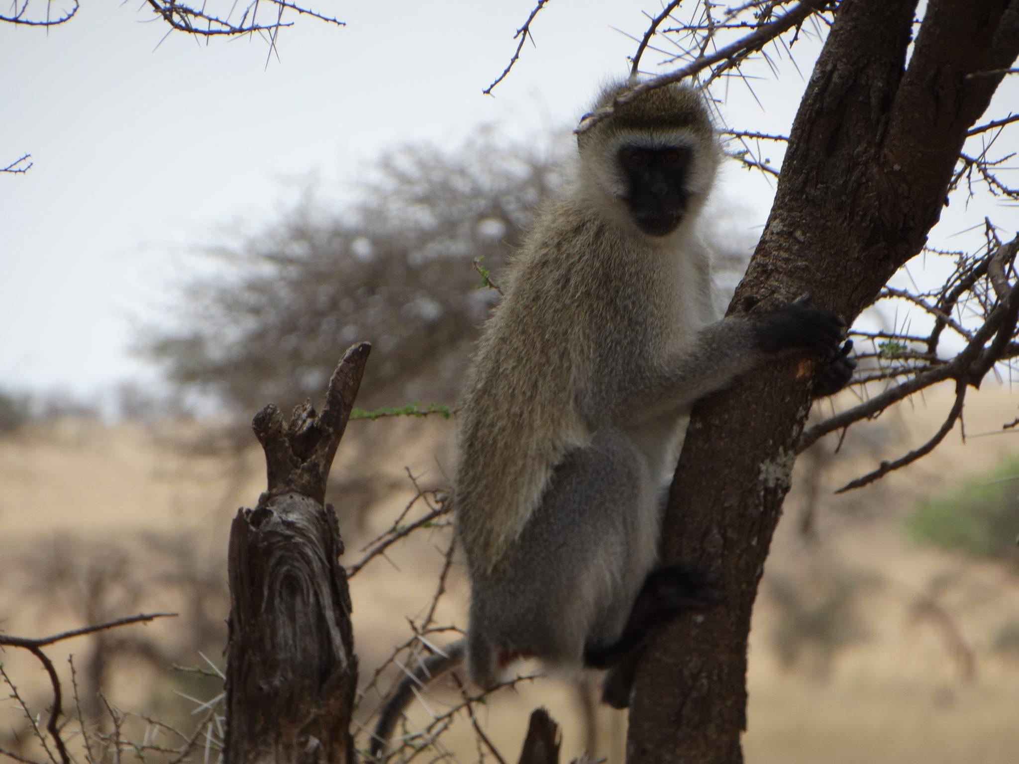 Een velvet monkey