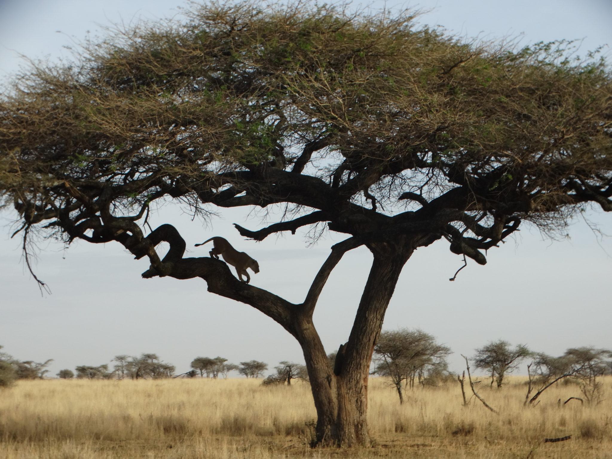 De leeuwin verlaat de boom