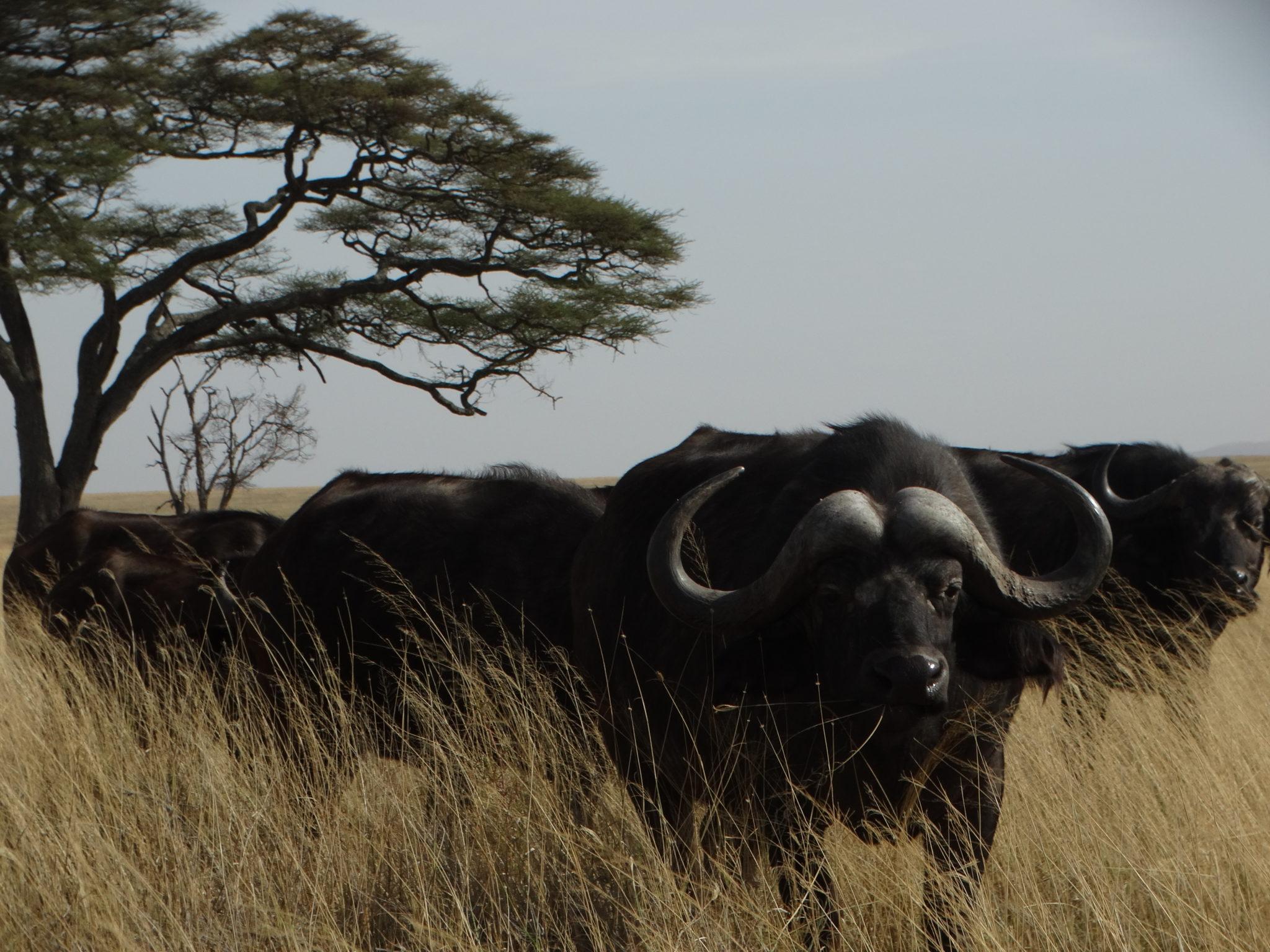 De grote buffalo