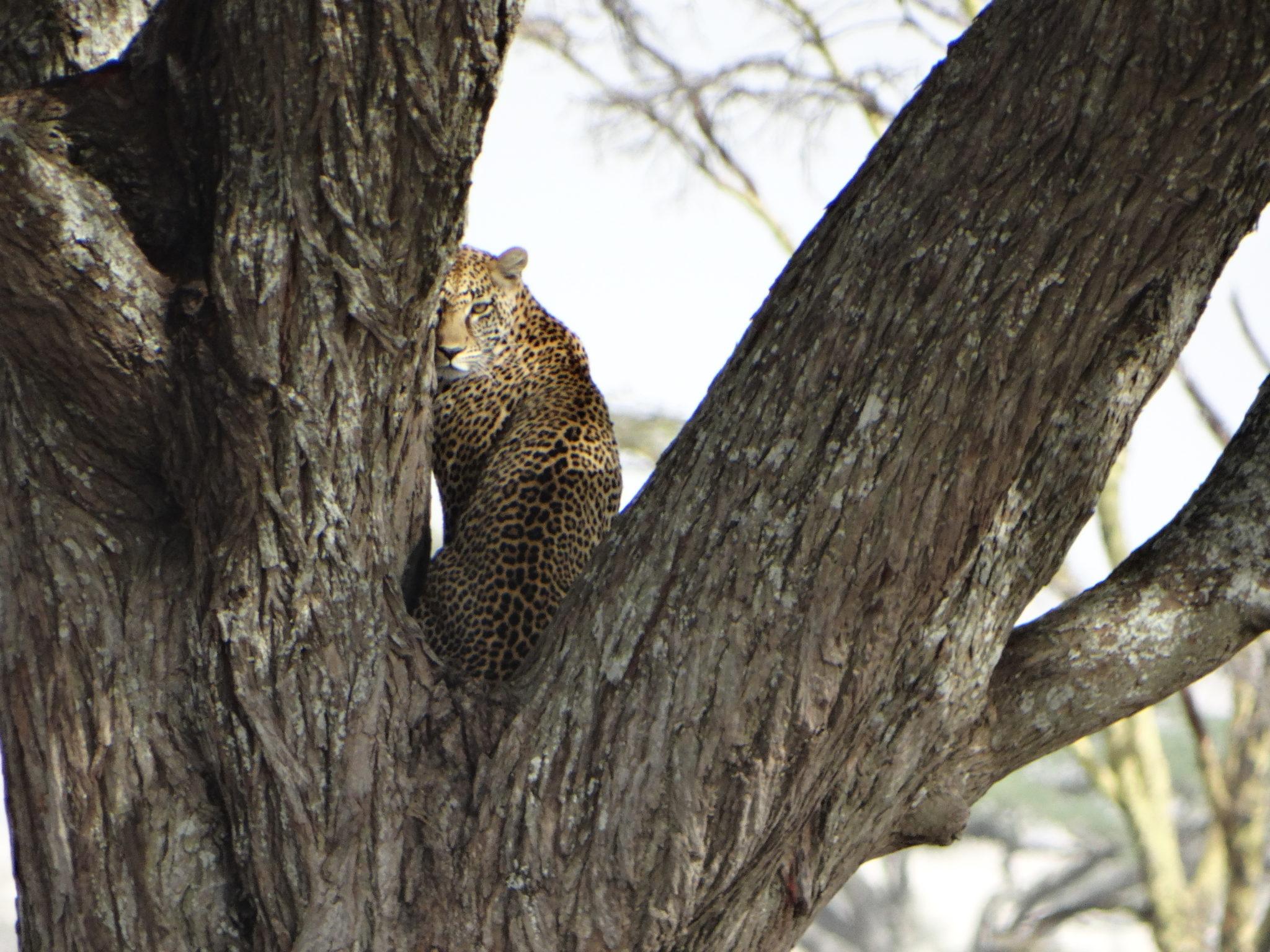 Eindelijk, een luipaard gespot!