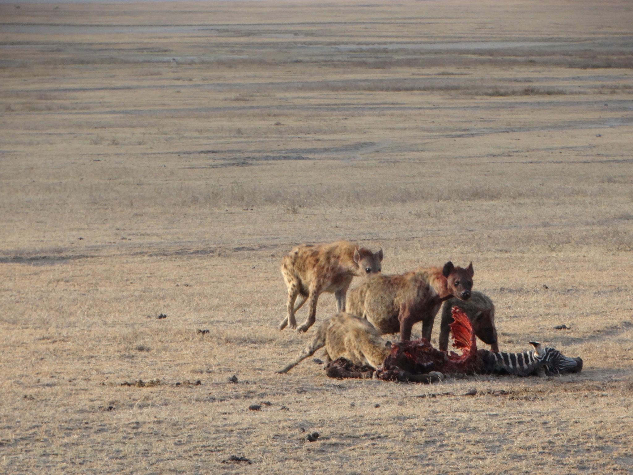 Hyena's en jakhalzen genieten van de restjes van een kleine zebra in Ngorongoro crater