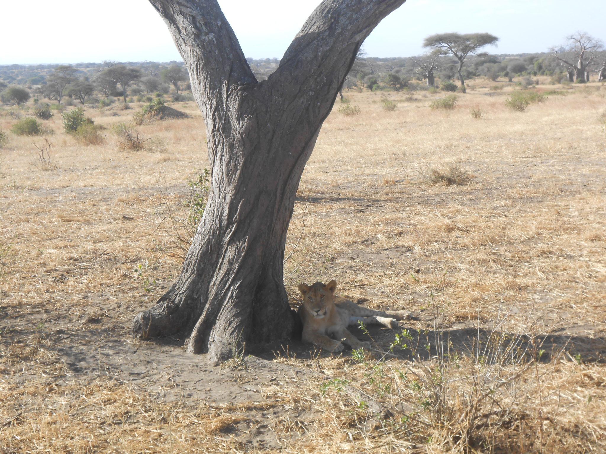 Onze allereerste leeuw!