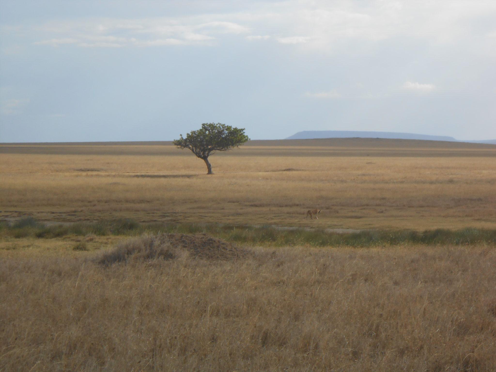 Een eenzame leeuw wandelt door de immense graslanden van de Serengeti