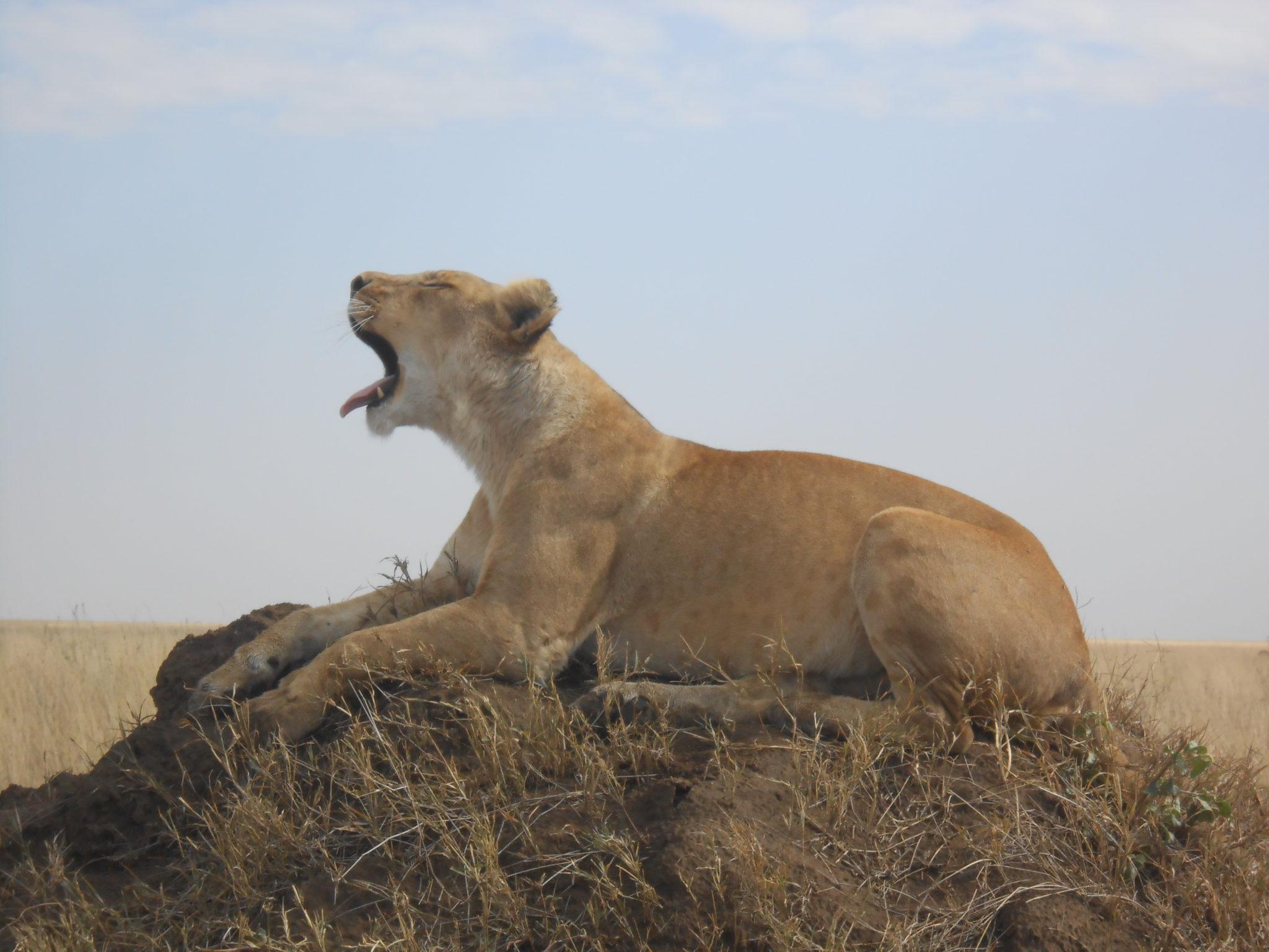 Ook leeuwen hebben soms behoefte aan geeuwen